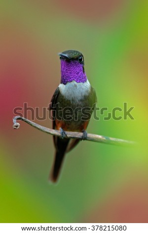 Purple-throated Woodstar, Calliphlox mitchellii, Little Hummingbird with coloured collar in the green and red flower, bird in the tropical forest garden, animal in the nature habitat, Tatama, Colombia - stock photo