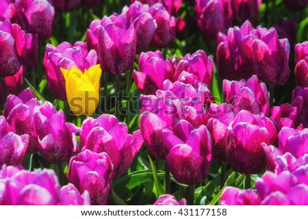 Purple Tulip Field with one Yellow