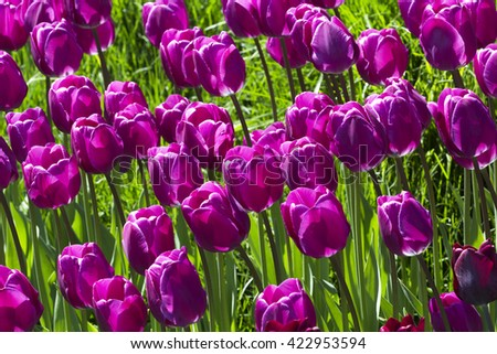 Purple tulip flower field blooming. - stock photo