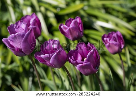 Purple tulip flowers against blurred green background leaning to the left