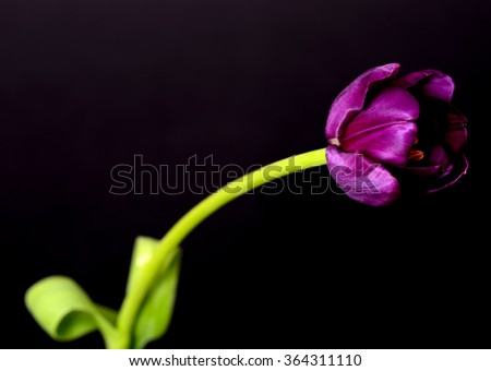 Purple tulip isolated over a black background - stock photo