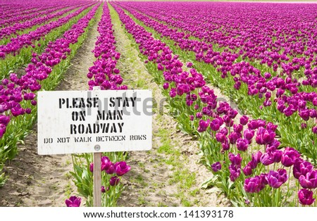 Purple tulips and sign in Skagit Valley - stock photo