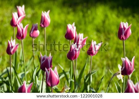 purple tulips flowers on green - stock photo