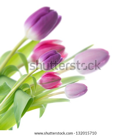 purple tulips in a corner of the frame on a white background - stock photo