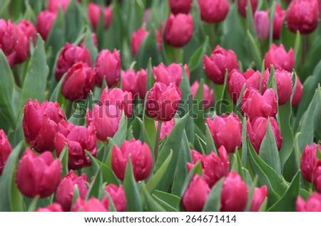 purple tulips in a flower field after rain - stock photo