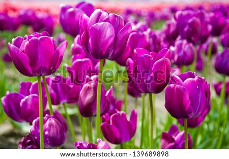 Purple tulips in Skagit Valley - stock photo