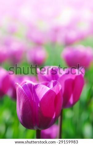 Purple tulips in soft focus in spring garden 'Keukenhof', Holland - stock photo