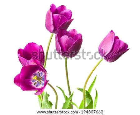 purple tulips isolated on white background - stock photo