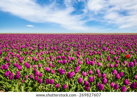 Purple tulips on the field in the spring time