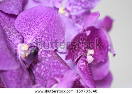 Purple vanda - stock photo