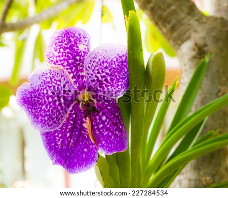 Purple vanda orchid grow in farm - stock photo