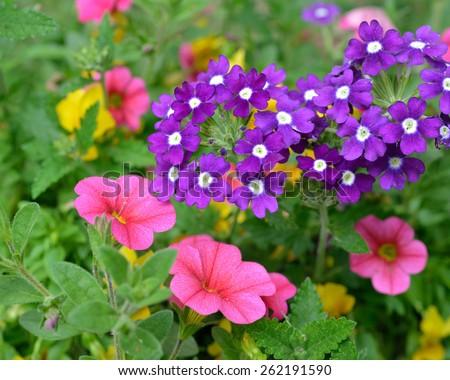 Purple verbena flowers and pink petunias, garden detail - stock photo