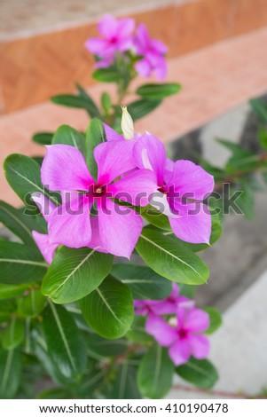 Purple Vinca Roseus in a garden pavement - stock photo