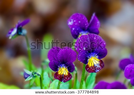 Purple Viola in the Morning Dew