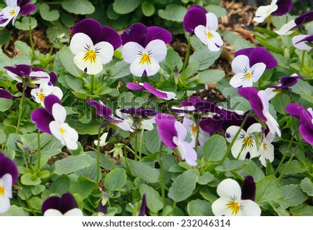 Purple viola tricolor (pansy) growing in the garden - stock photo