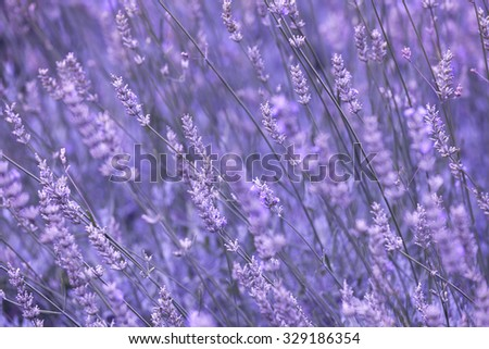 Purple violet color sunny blurred lavender flower field closeup background - stock photo