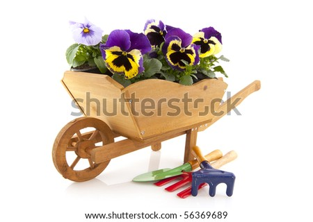 Purple violins in wooden wheel barrow isolated over white