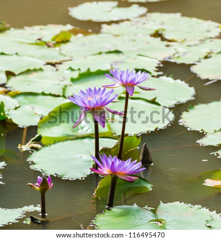 purple water lilies - stock photo