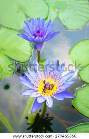 Purple Water Lilies with Bees, Selective Focus, Blur Background - stock photo