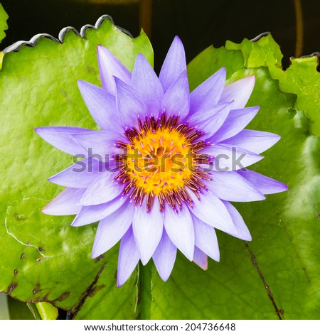 purple water lilly  - stock photo