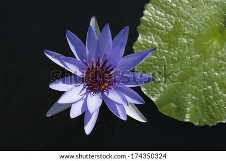 Purple water lily - stock photo