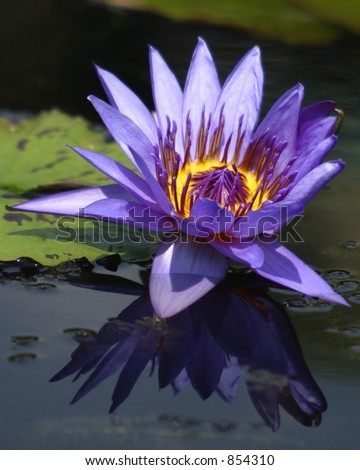 Purple Water Lily and Reflection - stock photo