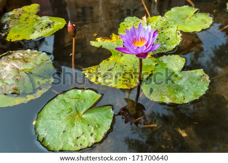 Purple water lily in pond - stock photo