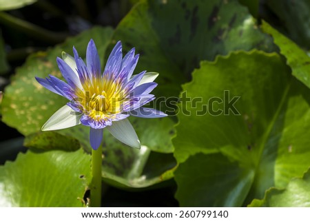Purple water lily in pond. - stock photo