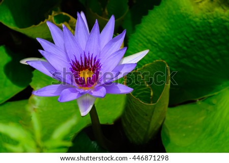 Purple water lily Nymphaea â??Director T. Mooreâ?�  lilac in pond with lily pads