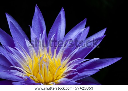 Purple water lily on black background - stock photo