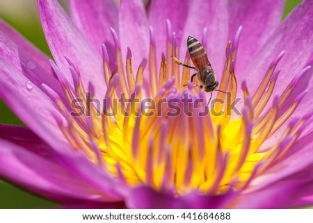 purple water lily with bee - stock photo