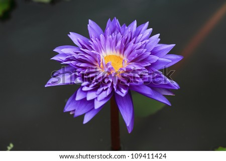 purple waterlily