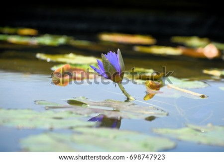 purple waterlily and lily pads
