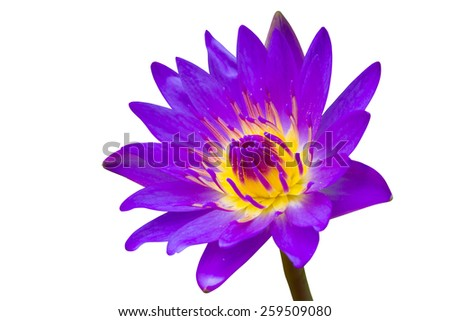 Purple waterlily isolated on white background - stock photo