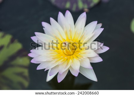 Purple waterlily or lotus flower in garden - stock photo