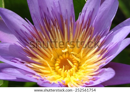 Purple waterlily or lotus flower macro shot - stock photo
