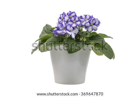 Purple & White African Violet isolated on white background with the whole flowerpot - stock photo