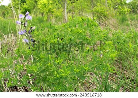 Purple wildflower, tick treefoil (desmodium cuspidatum), grows in a Midwestern United States of America meadow. - stock photo