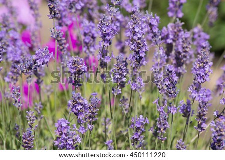 purple wildflowers in the early morning in summer - stock photo