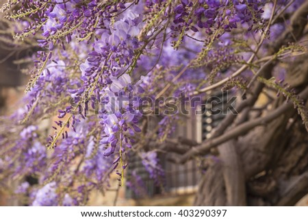Purple Wisteria growing in Tuscany, Italy