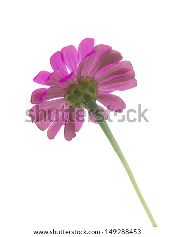 purple Zinnia flower isolate white background with clipping path