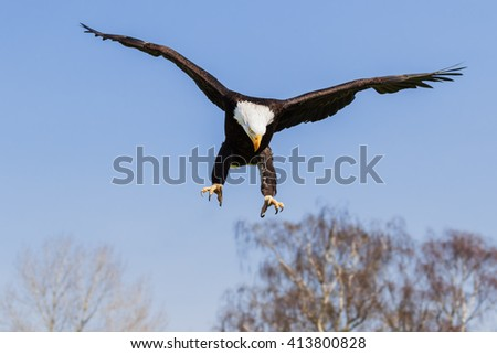 Purposeful eagle. A magnificent bald eagle has its claws out as it comes out of the sky. - stock photo