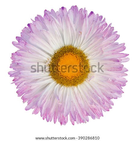 purpur and white gerbera flower isolated on a white background - stock photo