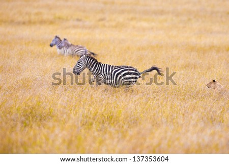 Pursuit of a lioness of a zebra. The zebra for fear defecates. Series - stock photo