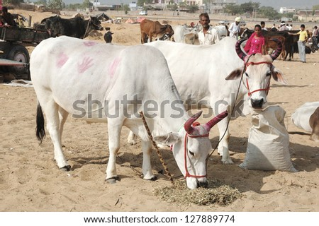 PUSHKAR, INDIA - NOVEMBER 21: Two  cows with panted pink horns and colourful handprints on their skin eating hay at nomad's camp at camel mela holiday in Pushkar on November 21,2012 in Pushkar,India