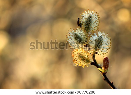 pussy willow branch in spring nature - stock photo