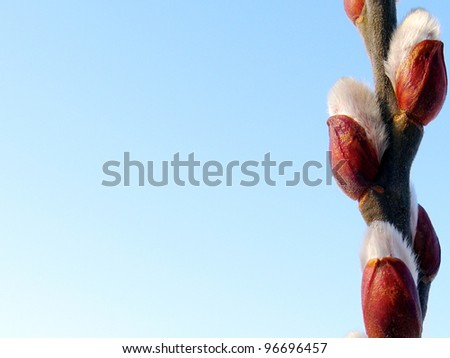 Pussy willow branches on blue background - stock photo
