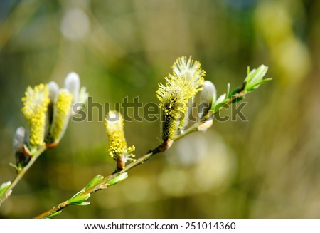Pussy willow branches on the green background - stock photo
