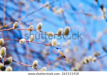 Pussy willow branches with white catkins on a blue sky background. Shallow DOF macro photo  - stock photo