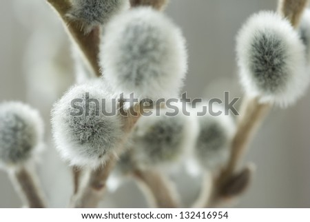 pussy willow buds - stock photo